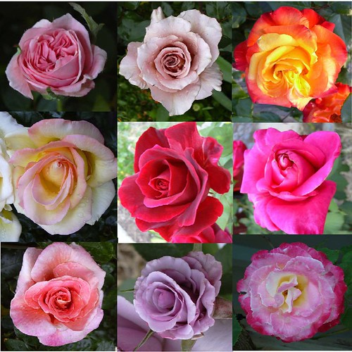 9 roses of my love