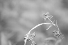 Silver Lining **Explored** (flashfix) Tags: blackandwhite sunlight plant ontario canada macro nature monochrome leaves silver nikon bokeh ottawa raspberry 40mm mothernature 2015 raspberrybush d7000 nikond7000 2minutemacro 2015inphotos june182015