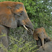Playful elephant calf