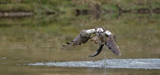 Osprey, with catch
