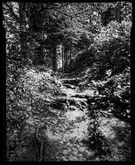 Root Stair Trail 1507xx (jimhairphoto) Tags: statepark camera blackandwhite blancoynegro film oregon graphic northwest wideangle homemade pointandshoot 4x5 crown pnw ilford fp4 naturalworld capelookout blancinegre remainsoftheday blancetnoir leftcoast jimhairphoto schwarzeaufweis siyahrebeyaz 4x5project