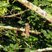 Black-billed Cuckoo (Evansburg SP)