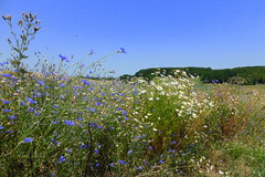 Sommer - Summer (ivlys) Tags: flowers nature field germany landscape deutschland hessen feld blumen landschaft kamille cornflower odenwald camomile neutsch centaureacyanus kornblumen ivlys