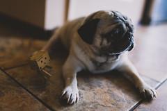 Pug & Danboy (TheSonOfMuluh) Tags: dog pet art 35mm nikon 14 pug sigma d750 lightroom vsco danboard danboy