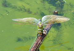Emperor Dragonfly (anax imperator) (Eleanor (No multiple invites please)) Tags: uk insect pond dragonfly pondweed stanmore emperordragonfly canonspark 105mmmacrolens femaleemperordragonfly nikond7100 july2015