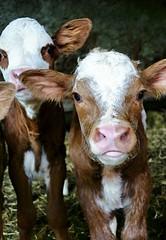 (Philippe Vieux-Jeanton) Tags: cattle savoie veal veau bovin