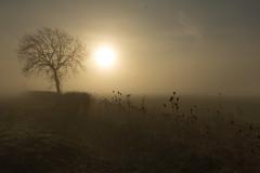 Before Nightfall (jillyspoon) Tags: willinghambystow lincolnshire neargainsborough fog nightfall teasles mist winer winter silhouettes onetree fillinghamlane sunshine sun wintersun agriculture farming deserted eerie spookytree highwayman horizon