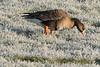 Frozen Breakfast (martinstelbrink) Tags: goose gans blässgans greaterwhitefrontedgoose ice raureif morning morgen schenkenschanz salmorth nrw nordrheinwestfalen germany niederrhein sony alpha77ii a77ii sigma120400mmf4556 sigma tele bird vogel