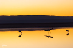 Landing in the Laguna Chaxa (josefrancisco.salgado) Tags: 70200mmf28gvrii atacamadesert chile d810a desiertodeatacama lagunachaxa nikkor nikon provinciadeelloa reservanacionallosflamencos ave bird desert desierto fauna flamenco flamingo salar saltflats iiregióndeantofagasta pájaro