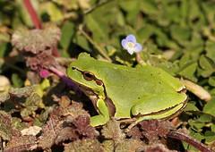 Hyla arborea-Common Tree Frog (Aviantic) Tags: hylaarborea commontreefrog
