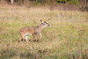 Motivated (Longleaf.Photography) Tags: buck deer wildlife cadescove gsmnp smokies tn gatlinburg townsend