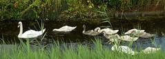 zwanenfamilie (simon mes) Tags: zwaan swan zwanen swans zaanstreek zaanstad veldweg holland