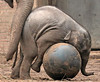 asiatic elephant Sanuk Artis JN6A3543 (j.a.kok) Tags: sanuk olifant elephant asiaticelephant aziatischeolifant elephasmaximus azie asia mammal zoogdier herbivor artis