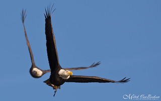 Give Me That Fish!  (American Bald Eagles)