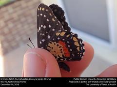 Crimson Patch or Mariposa parche carmesi (Nymphalidae, Chlosyne janais (Drury)) (insectsunlocked) Tags: lepidoptera nymphalidae nymphalinae melitaeini chlosyne chlosynejanais cjanais crimsonpatch mariposaparchecarmesi