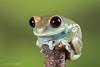 Ruby Eyed Tree Frog (Linda Martin Photography) Tags: dorset rubyeyedtreefrog frogs leptopelisuluguruensis tanzania amphibians canon5dmarklll uk nature coth naturethroughthelens ngc coth5 npc fantasticnature