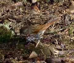 """Red"" Fox Sparrow--Passerella iliaca (Polioptila caerulea) Tags: sparrow redfoxsparrow passerellailiaca passerella baileyrd fortdick delnortecounty california fosp"