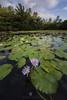 Lily (santosh_shanmuga) Tags: freshwater pond water lily waterlily waterlilies landscape vista scenic wild nature outdoor outdoors flower purple nikon d810 1424mm hawaii hi big island punaluu black sand bigisland