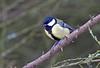 Great Tit (penlea1954) Tags: nature reserve dumfries galloway scotland uk outdoor dumfriesshire bird castle loch lochmaben great tit parus major