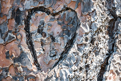 Tree Love (maytag97) Tags: maytag97 tamron 150 600 150600 tree heart love bark carved carving trunk wood valentine cut vandalism nature forest branch closedup symbol graphic plant closeup