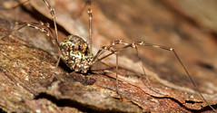 Megabunus diadema (Richard McMellon) Tags: megabunus diadema opilione harvestman arachnid