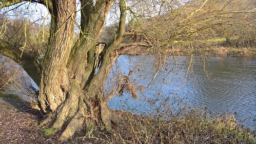 Silberweide (Salix alba) an der Fischerwiese , NGIDn1000921079
