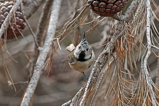 Crested Tit (Lophophanes cristatus) Хохлатая синица (Гренадерка)