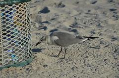 DSC_0362 (Carolina 0rtiz) Tags: pajaro bird miami beach arena sand basura