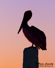 Silhouette of a Brown Pelican (Pelecanus occidentalis) perched on a dock piling at sunset (Brian Lasenby) Tags: composition color cedarkey northamerica nature water pelican bill behaviour florida longbill dock sit perch bird object places largebill beak body vertical verticalcomposition dockpiling red pouch saltwater shore gulfofmexico sea ocean pelecanusoccidentalis wildlife animal orange pink silhouette purple environment unitedstates coast rest brownpelican