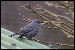 Blue Rock Thrush (Thomas Winstone) Tags: blue rock thrush bluerockthrush canon bird birds ave aves avian rarebird uk gloucestershire stow stowonthewold england unitedkingdom gb