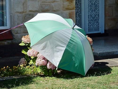 Protecting Hydrangeas