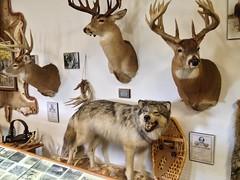 Stuffed Animals... Taxidermy (marylea) Tags: oct5 2014 deerpark museum taxidermy deerhead wolf