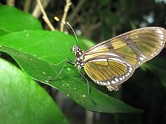 Borboleta (Tony Gomes) Tags: brasil brazil borboleta borboletas butterfly butterflies inseto insetos insect insects bug