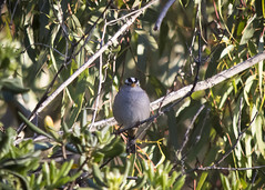 _DSC9564 White-crowned Sparrow (d.macheca@yahoo.com) Tags: central park huntington beach winter birds hummingbird squirrel warblers bluebirds