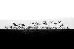 In between (Wojciech Grzanka) Tags: birds commoncrane grusgrus wildlife bw
