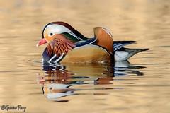 Mandarin Duck (parry101) Tags: mandarin duck mandarinduck cannop pond cannopponds cannoppond ponds bird nature naturephotography wildlife wildlifephotography forestofdean gloucestershire forest dean animal outdoor geraint parry geraintparry
