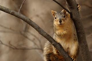 Squirrel, Morton Arboretum. 389 (EOS)