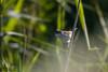 Common Whitethroat (Curruca communis)