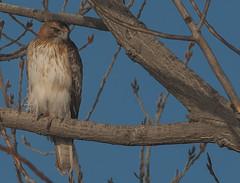 little eagle (Hieraaetus morphnoides) -2268 (rawshorty) Tags: birds australia canberra act symonston rawshorty