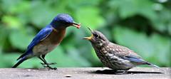 Bluebird Dad Feeding Baby (Bella Lisa) Tags: baby feeding bluebird juvenile easternbluebird sialia juvenilebluebird thewonderoflife babybluebird 102115 115picturesin2015