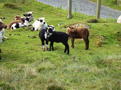 Motley collection of lambs (nz_willowherb) Tags: see scotland tour visit shetland lunna to go steensofstofast stanesofstofast