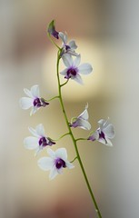 Exotic (mara.arantes) Tags: flowers plant orchid planta digital nikos orqudea flres
