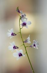 Exotic (mara.arantes) Tags: flowers plant orchid planta digital nikos orquídea flôres