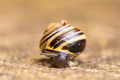 Brown-Lipped Snail (oandrews) Tags: nature garden outside outdoors outdoor wildlife snail snails mollusc invertebrate invertebrates molluscs minibeasts minibeast cepaea nemoralis whatsinyourgarden