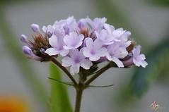 fleur de printemps (laurentmorand) Tags: flower nature fleur plante garden photo jardin vert morand