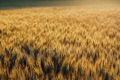 Fields of Gold (Pics by Abigail) Tags: summer sunlight gold golden evening wheat grain harvest fields wheatfields goldenglow fieldsofgold tamron2875 grainfield tamron2875mmf28 summerevenings summerharvest