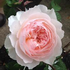 ROSE (alanpeacock2) Tags: pink roses flower beautiful rose coral dewdrops petals kiss perfume ngc salmon dew smell fragrant raindrops blush scent morningdew englishrose inmygarden flowersinmygarden salmonpink coralpink pinktomaketheboyswink davidaustinroses oldenglishrose perfectpink thewedgewood