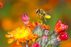 Megachile centuncularis (Richard Becker Photography) Tags: orange bees insects bee megachile