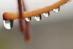 20150716-DS7_7979.jpg (d3_plus) Tags: street plant flower macro nature rain japan nikon scenery waterdrop bokeh outdoor daily rainy bloom  streetphoto  tamron   aftertherain dailyphoto   raindrop  thesedays tamron90mm             tamronmacro  tamronspaf90mmf28 tamronspaf90mmf28macro11 d700 172e kanagawapref  tamronspaf90mmf28macro nikond700  spaf90mmf28macro11 172en