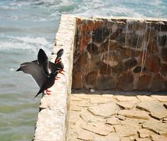 Birds (Fabia Luca Baca) Tags: beach birds playa aves vacations vacaciones airelibre